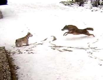 койот напал на собаку