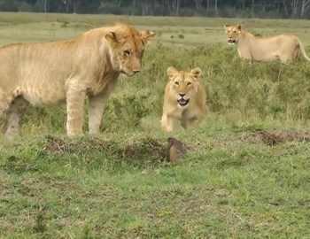 мангуст и три льва