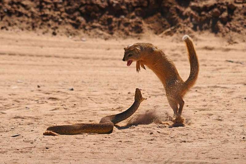 мангуст борется со змеей