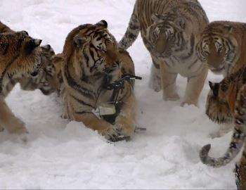 тигры сбили дрон