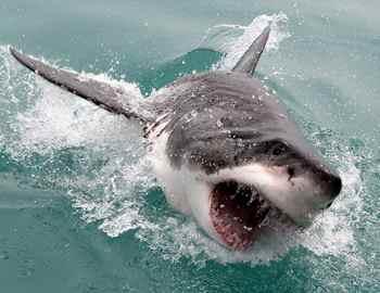 выпрыгивает большая белая акула