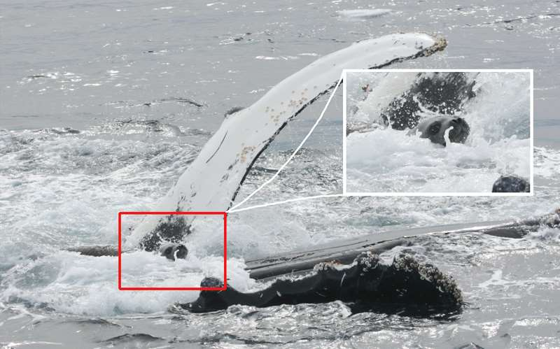 тюлень на горбатом ките