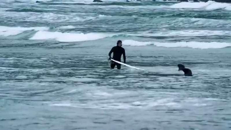 морские львы возле серфенгиста
