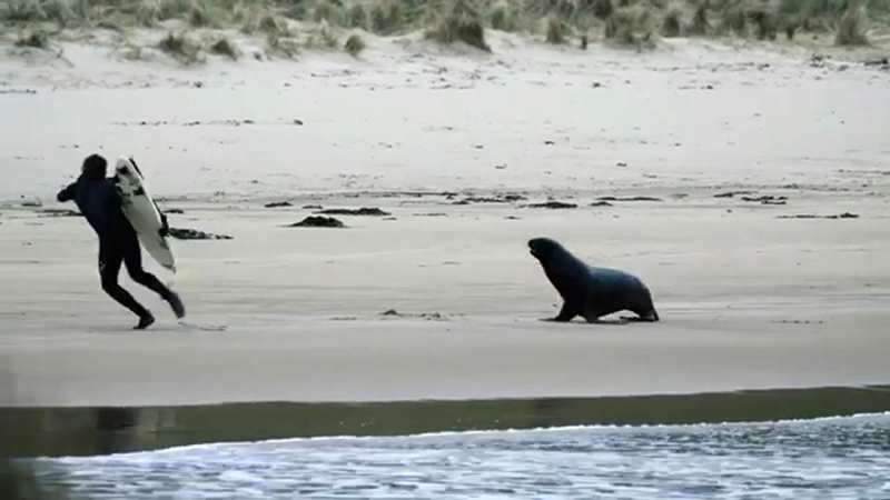 серфер бежит от морского льва