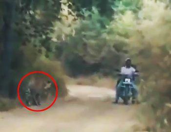 тигр и люди на мотоцикле