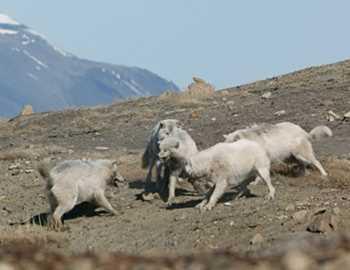 волчицы защищаются от волка