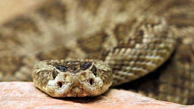 морда гремучей змеи