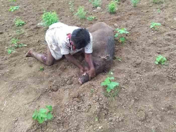 фермер победил дикого кабана