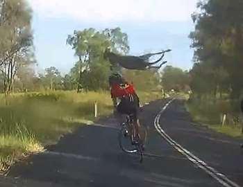 кенгуру сбил велосипедиста