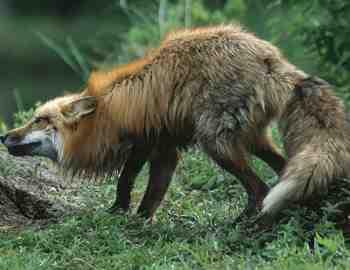 лиса напала на мужчину