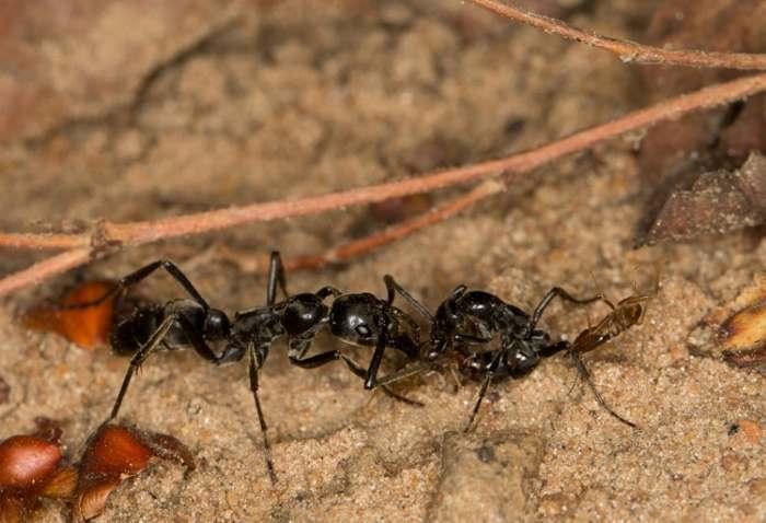мураваей переносит раненого