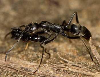 муравей спасает раненого