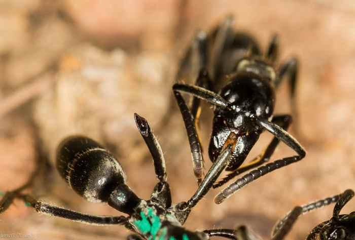 муравей лижит рану муравью
