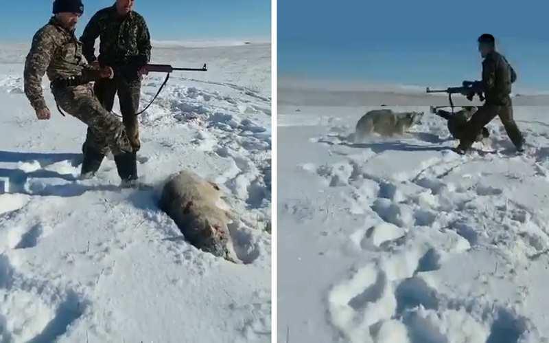охотник пнул убитого волка
