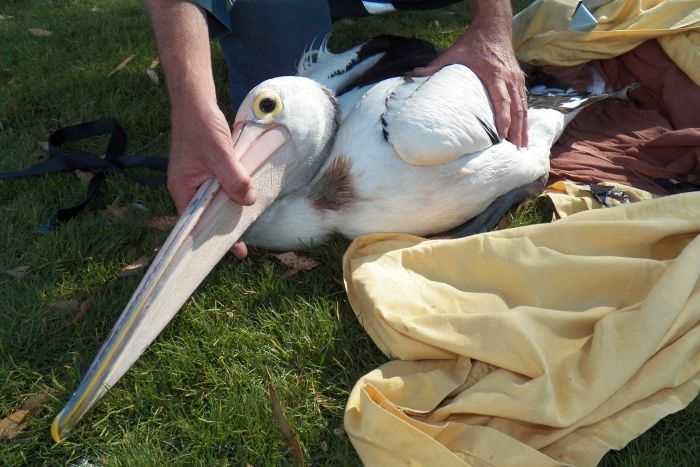 пойманный пеликан