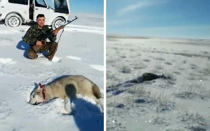 убитый волк охотниками
