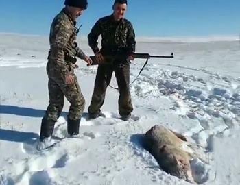 волк напал на охотников