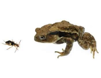 жук бомбардир и жаба