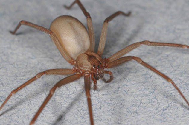 паук-отшельник