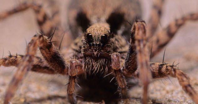 паук с лицом волка