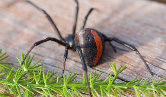паук с крансной спиной