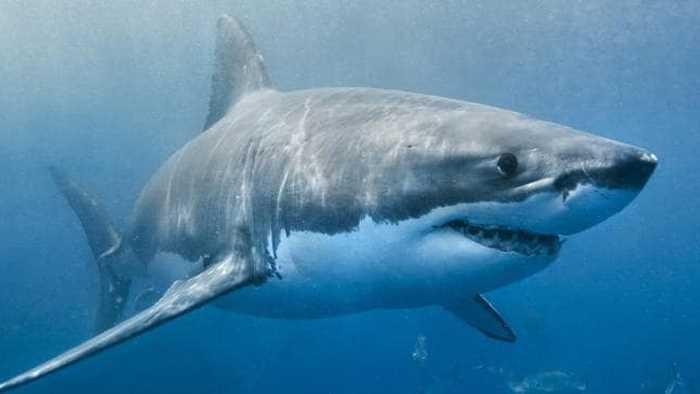 большая белая акула плывет