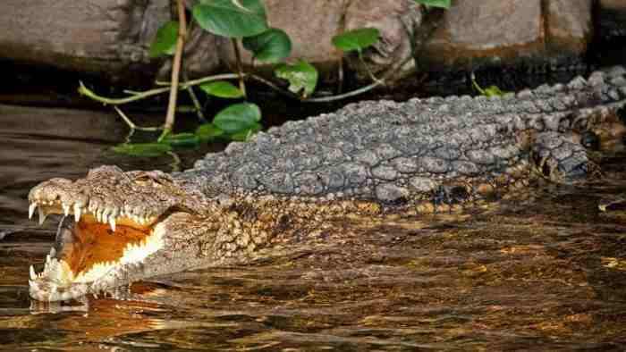 большой австралийский крокодил