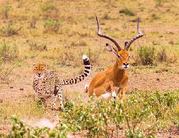 гепард гонится за добычей