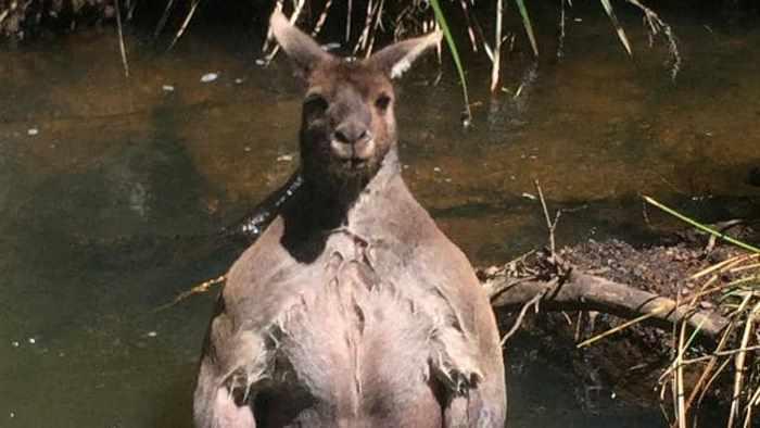 крупный кенгуру