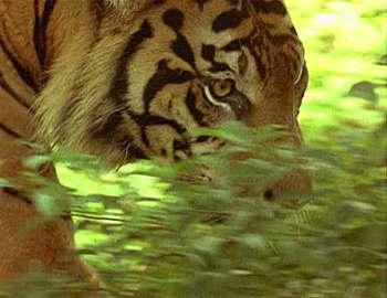 нападения тигров в Индии