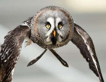 парящая сова