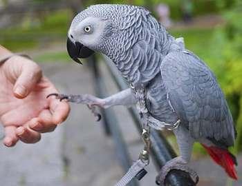 попугай подает лапу