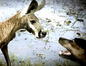 собаки ападают на кенгуру