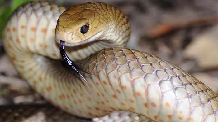 змея приготовилсь атаковать