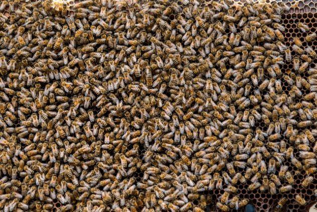 масса пчел