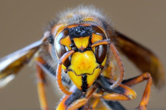 желтая голова осы