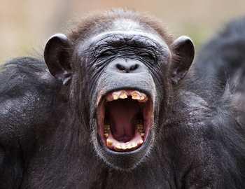 кричит шимпанзе