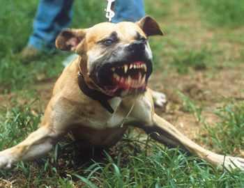 очень злая собака
