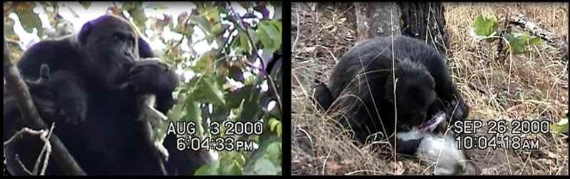 шимпанзе поедает обезьяны