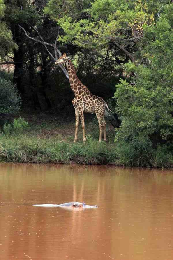 большой жираф
