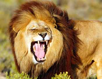 лев покусал владельца парка