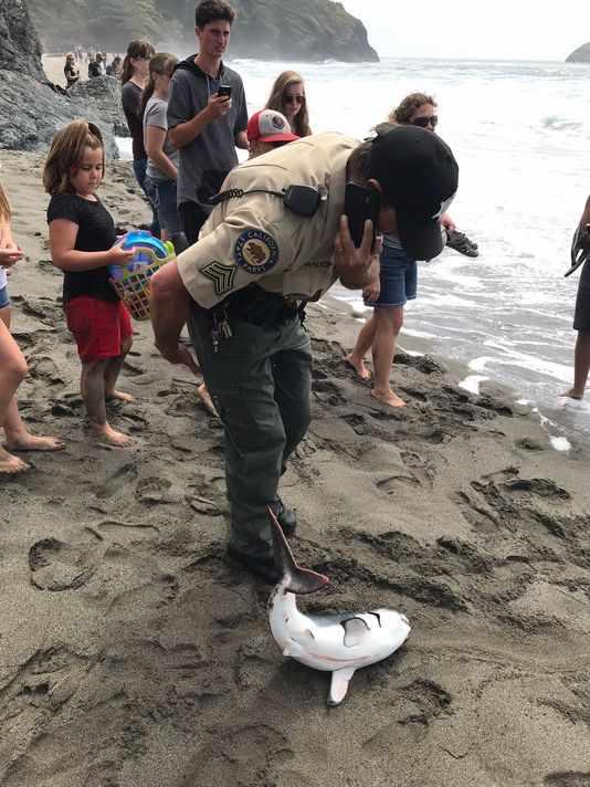 сельдевая акула на песке