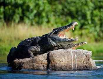 нильские крокодилы отдыхают