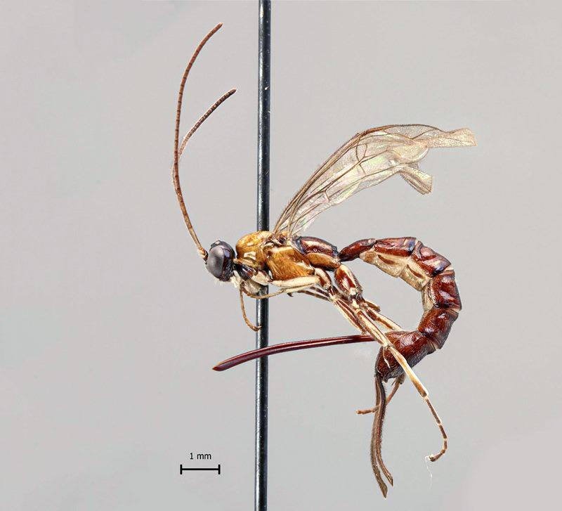 крупная паразитоидня оса
