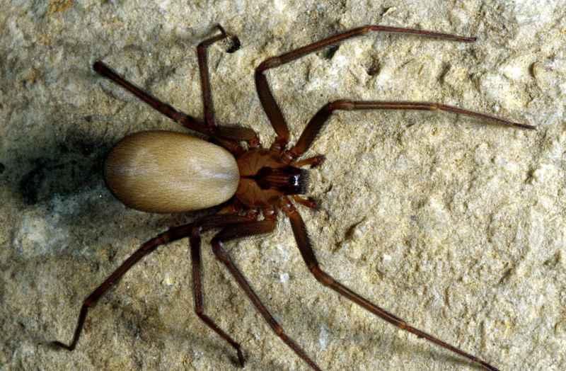 один из самых опасных пауков
