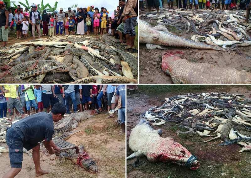 массовое убийство крокодилов