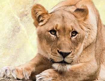 львы убили браконьеров