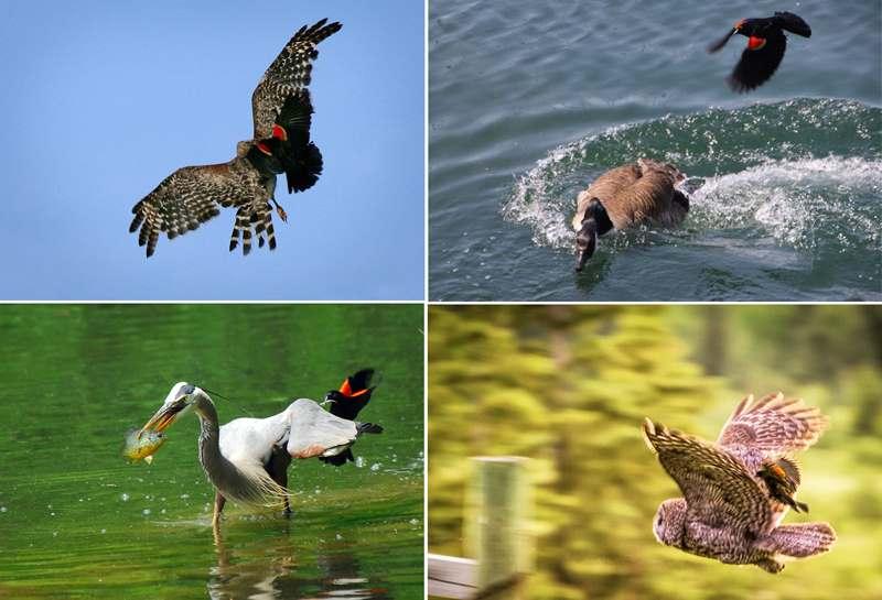 трупиал гонят птиц