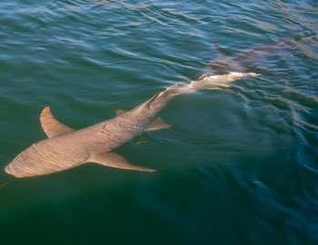 ржавая акула-нянька
