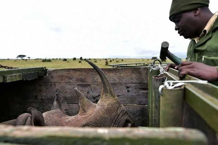спасен носорог